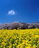 Showa Memorial Park, rape blossoms, cherry blossoms, Tachikawa city, Tokyo, Kanto, Japan