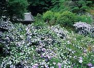 Jasmine, ryousen_ji temple, Shimoda, Izu peninsula, Minamiizu, Shizuoka, Japan