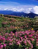 Mt. Ibuki, alpine meadow, Filipendula multijuga, flower, Kinki, Japan