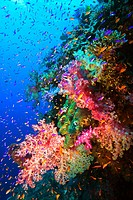Colorful soft corals and fish on undersea wall, South Pacific , Fiji