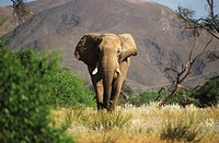Desert Elephants from Namibia