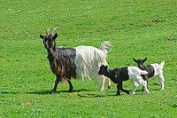 Valais Blackneck and two cubs