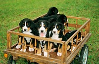 Greater Swiss Mountain dog _ puppies in hay cart