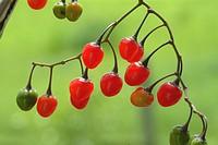 Solanum dulcamara, Bittersweet, nightshade, bitter, poisonberry, poisonflower, scarlet berry, snakeberry, woody