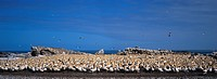 Colony of Cape gannets, Morus capensis