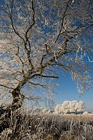 Tree in hoarfrost, Natura