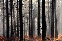Misty autumn scene in a New Forest pine wood, New Forest, Hampshire, England, United Kingdom, Europe