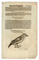 zoology / animals, textbooks, Historia animalium, by Conrad Gessner, Zurich, Switzerland, 1551 _ 1558, woodpecker Dendrocopos, woodcut, historic, hist...