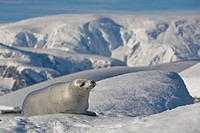 A Crabeater Seal basking in the Sun, Wilhelmina Bay, Antarctic Peninsula