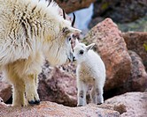 Mother Mountain Goat with Newborn Kid, Denver, Colorado