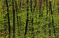 Forest in Spring Foliage, Six mile Lake Provincial Park, Ontario.