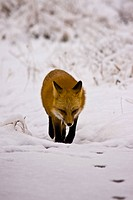 Red fox following tracks