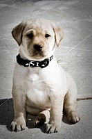 7 week old yellow Labrador Retriever puppy