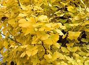 Ginkgo leaves, Ginkgo biloba