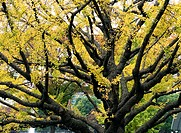 Japanese Maple leaves, autumn