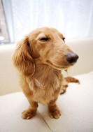 Close_up of Miniature Dachshund standing on sofa