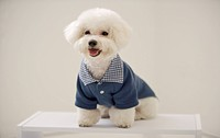 Portrait of Bichon Frise standing on table