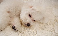 Close_up of Bichon Frise lying, focus on head