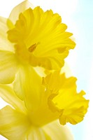 Close_up of daffodil flower