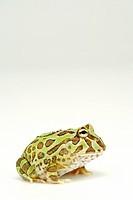 Frog, close up