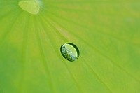 Dew on lotus leaf, close up