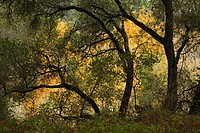 OAK TREES during AUTUMN in GARLAND REGIONAL PARK _ CARMEL VALLEY, CALIFORNIA