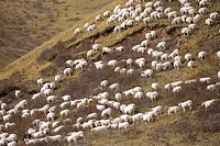 China, Sichuan, First Bay Of The Winding Yellow River, Flock Of Sheep