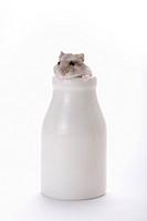Hamster in milk bottle