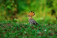Hoopoe prowling on the grassy ground, rear view