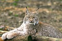 Portrait eines Europaeischen Luchses Lynx lynx, portrait of a european lynx Lynx lynx, Herbst, autumn, Bavarian Forest National Park, Bayrischer Wald ...
