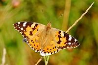 Distelfalter Cynthia cardui / Butterfly Cynthia cardui