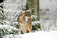 Wolf in Snow, Nat.Bavarian Forest, Germany Wolf,Wolf, Canis lupus,Wolve,