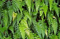 FERNS OF WAYANAD