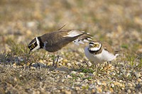 Flussregenpfeifer, Little ringed Plover Charadrius dubi