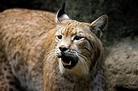 Lynx, Taiwan, Taipei, Taipei Zoo