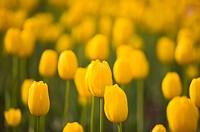 Flower, Tulip