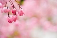 Shanghai, Flower, Peach Blossom