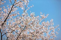 Shanghai, Cherry Blossom, Flower