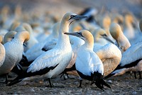 Cape Gannet Colony, Sula capensis, Lambert´s Bay, Western Cape, South Africa
