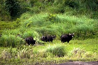 GAUR ALSO CALLED INDIAN BISON IN PERIYAR TIGER RESERVE THEKKADY