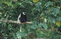 Guereza black and white colobus monkey, Colobus guereza, Mount Kenya National Park, Kenya