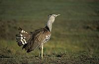 Kori Bustard, Ardeotis kori, Maasai Mara National Reserve, Kenya