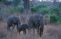 African elephant, Loxodonta africana, Ruaha National Park, Tanzania