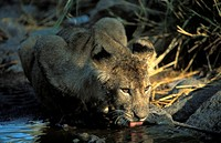 Lion cub drinking Panthera leo, Serengeti National Park, Tanzania
