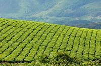 Afrika _ Uganda _ Landwirtschaft _ Teeplantage