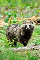 Raccoon Dog (Nyctereutes procyonoides), Germany