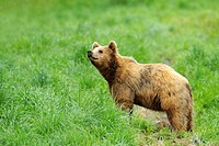 European brown bear, Bavaria, Germany
