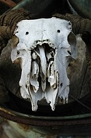 Lanb Skull with hornes.Agent 109 Ewing