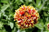 Blanket flower Gaillardia pulchella Sundance Bicolor Garden Origin