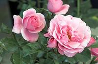 Modern Shrub Rose Rosa ´Bonica´.
